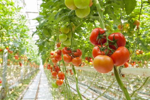 http://www.dreamstime.com/royalty-free-stock-photo-tomatoes-ripe-greenhouse-image32355005