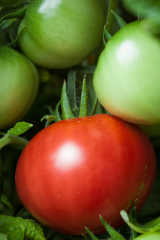 http://www.dreamstime.com/stock-photos-tomato-bush-image27081323